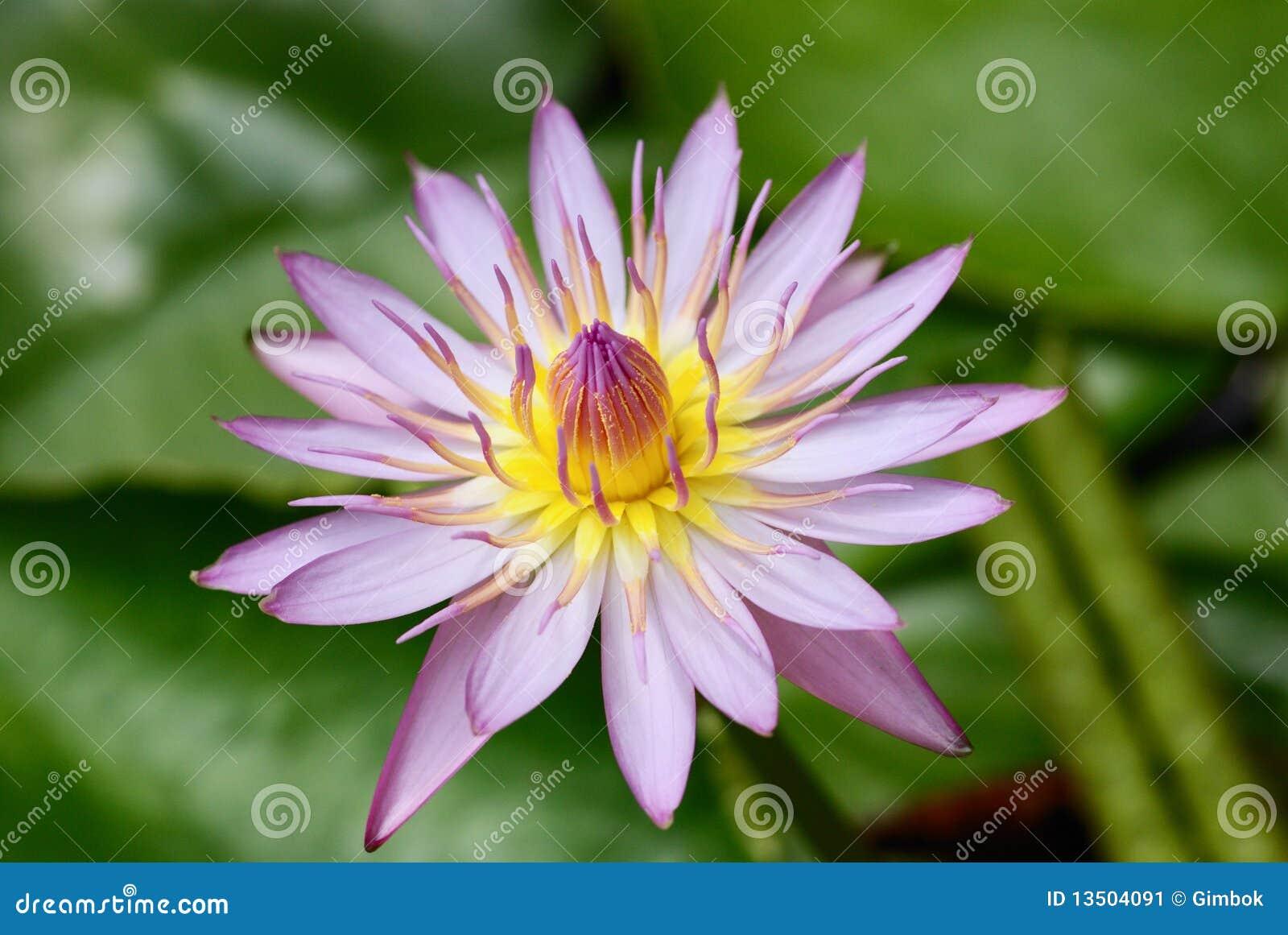 Purple Water Lily Flower Stock Image | CartoonDealer.com ...