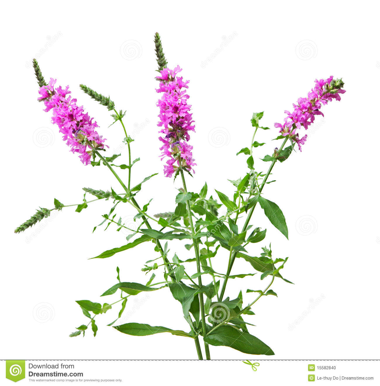 purple loosestrife stock photo image 15582840 spring clipart images transparent spring clipart free black and white