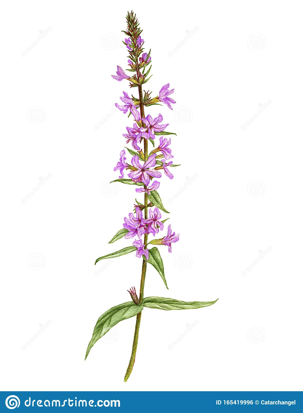 Purple Flower Drawing Stock Illustrations 49 494 Purple Flower Drawing Stock Illustrations Vectors Clipart Dreamstime