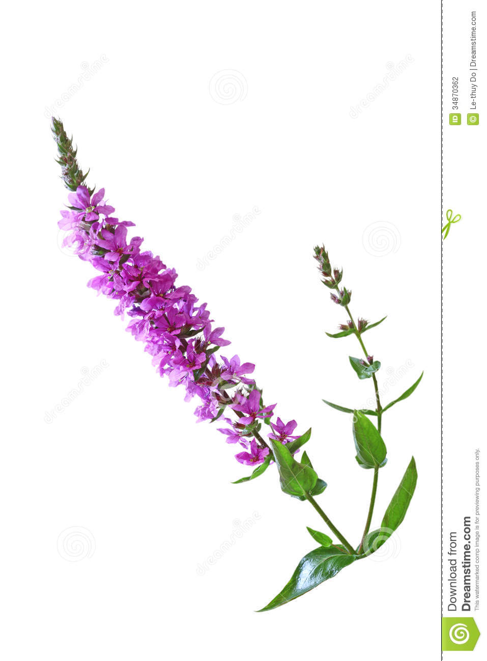 Purple Loosestrife Flower Stock Photo Image Of Pink