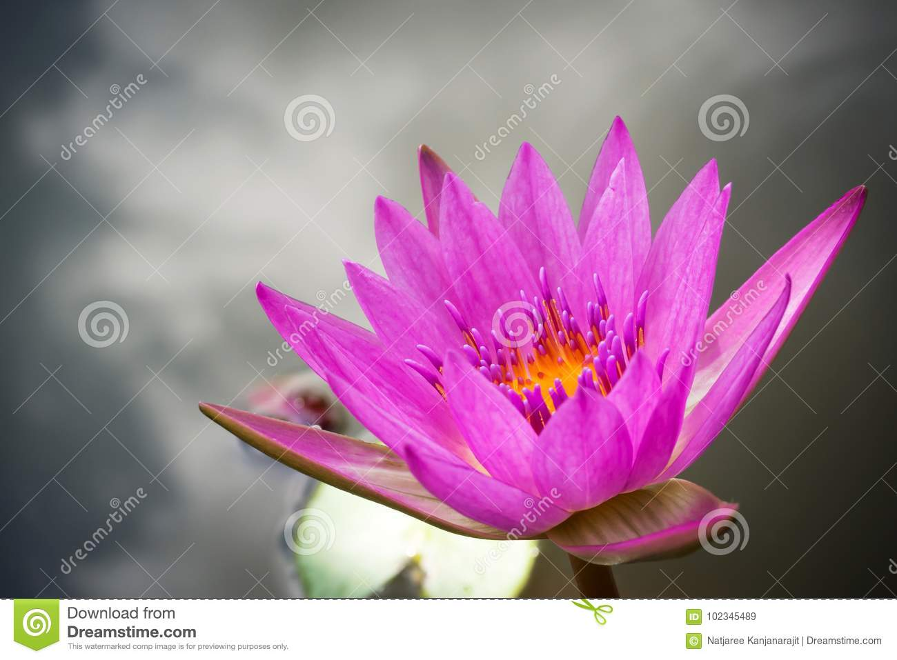 Purple lotus blooming in a pound aquatic plant tropical flower purple lotus blooming in a pound aquatic plant tropical flower symbolic of zen or buddhism nature background dark vignette and copy space mightylinksfo