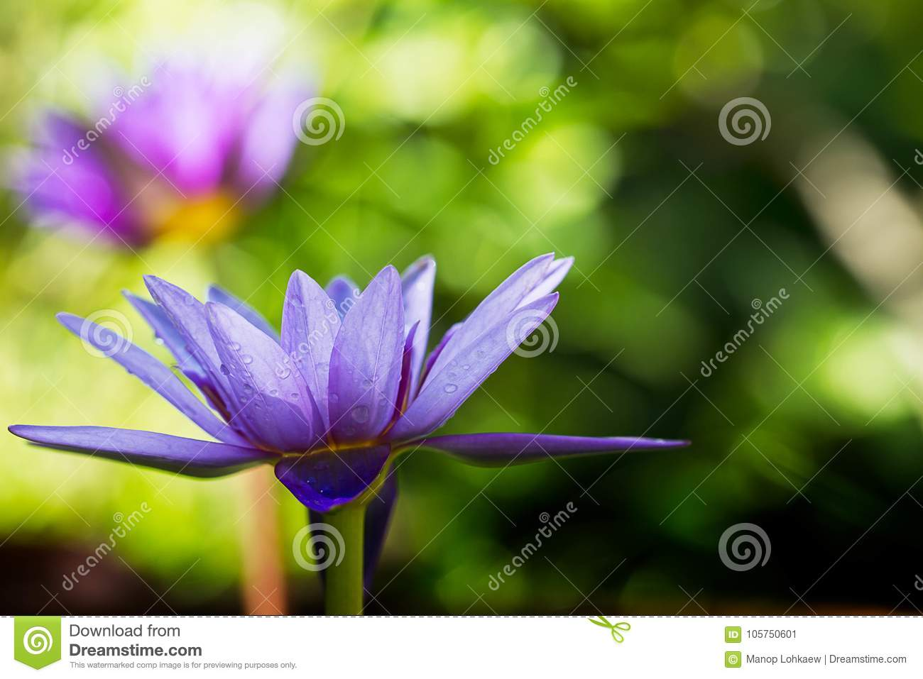 Purple lotus blooming with water drop on blurred green bokeh background