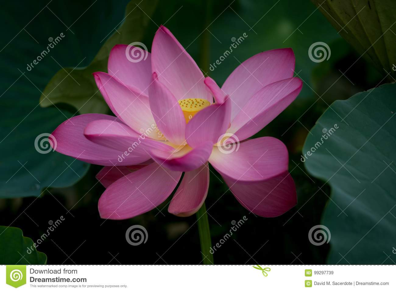 Purple Lotus Blossom Flower Stock Image Image Of Abstract Bloom