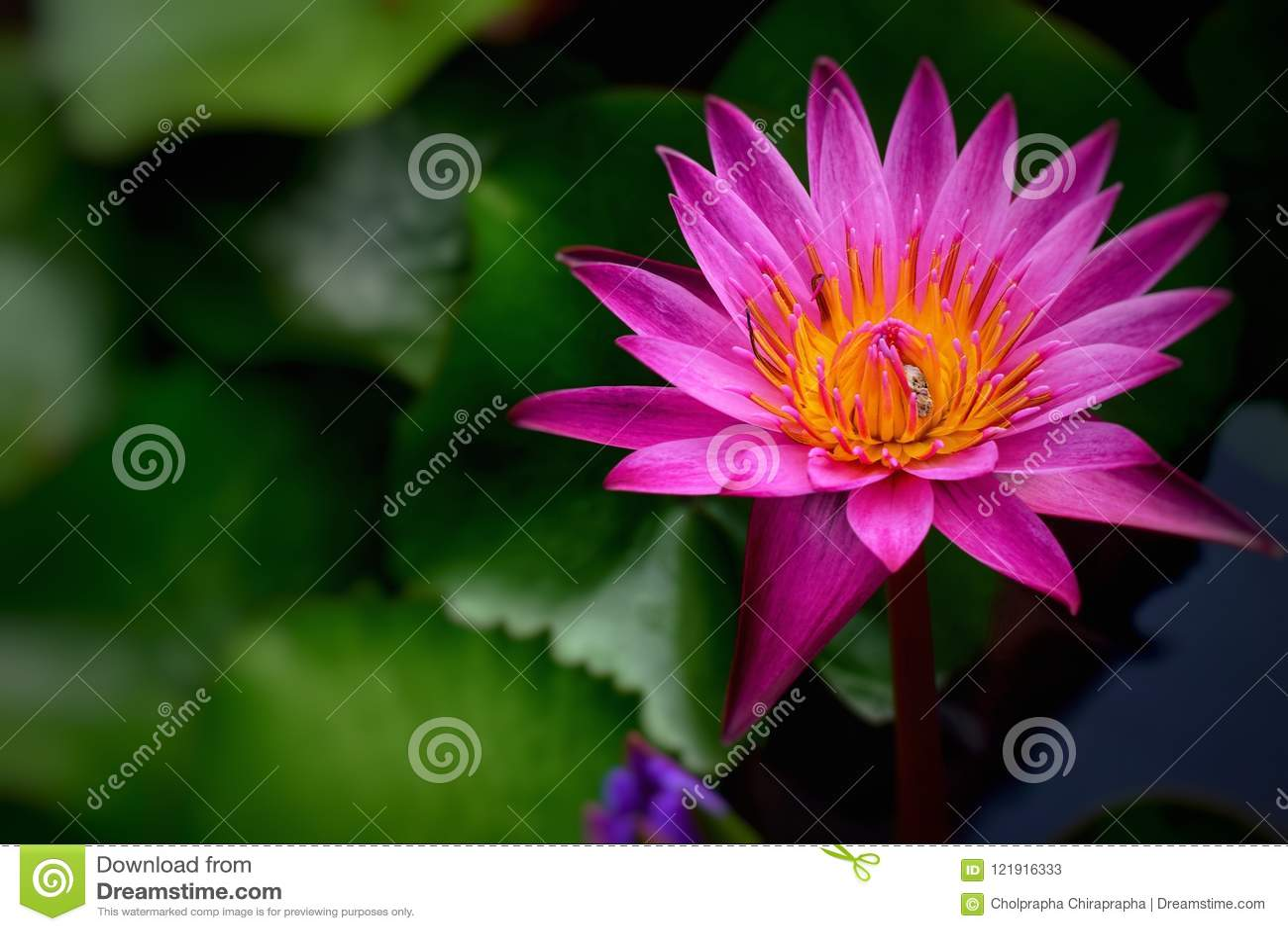 Purple Lotus Flower Flower Backgrounds Stock Image Image Of