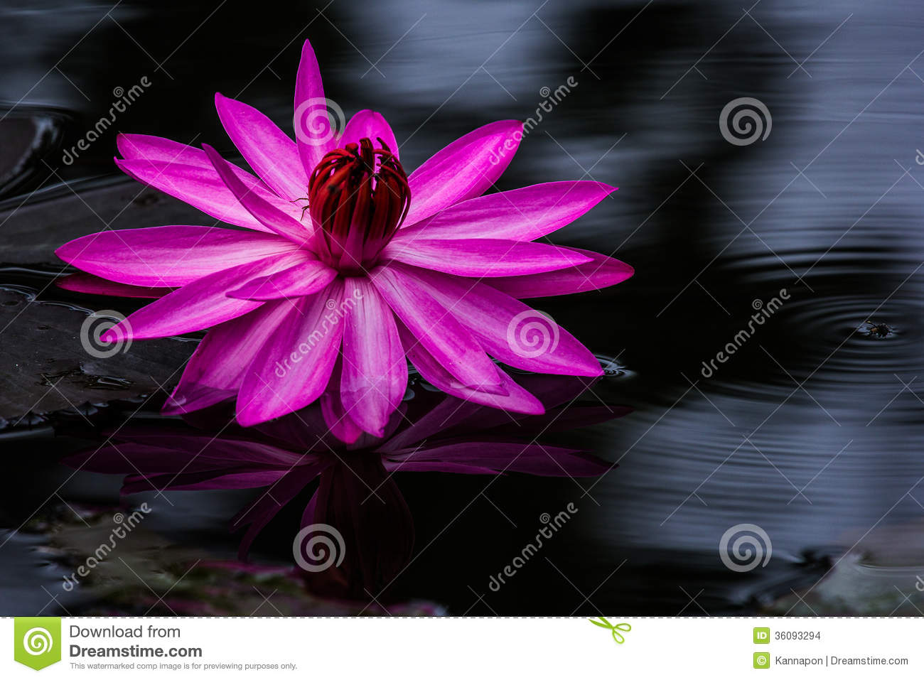 dark pink water lily or lotus flower. stock photo  image, Beautiful flower