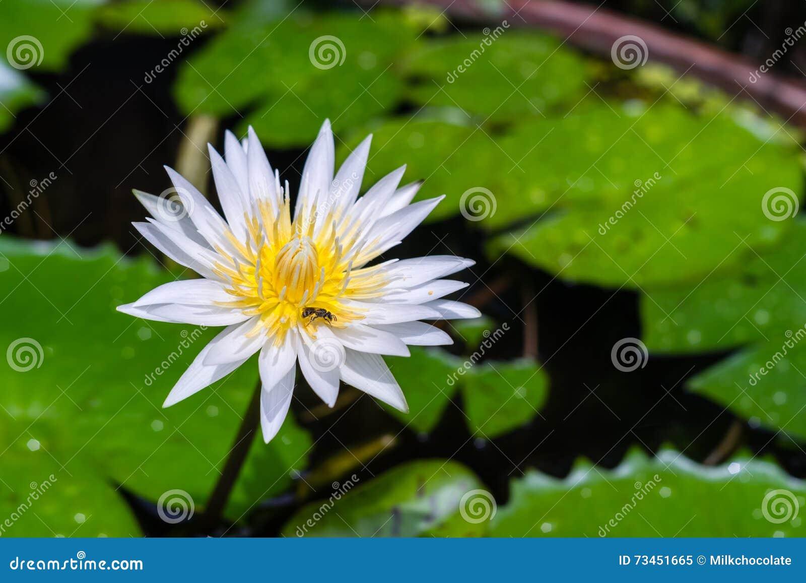 Purple lotus flower in garden stock image image of lotus asian purple lotus flower in garden izmirmasajfo