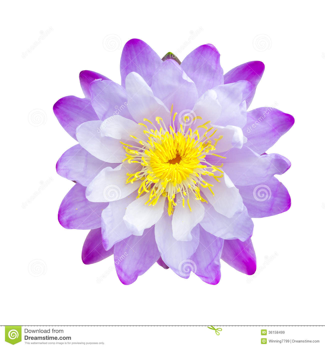 Purple lotus flower stock image image of nature pond 36158499 download purple lotus flower stock image image of nature pond 36158499 izmirmasajfo