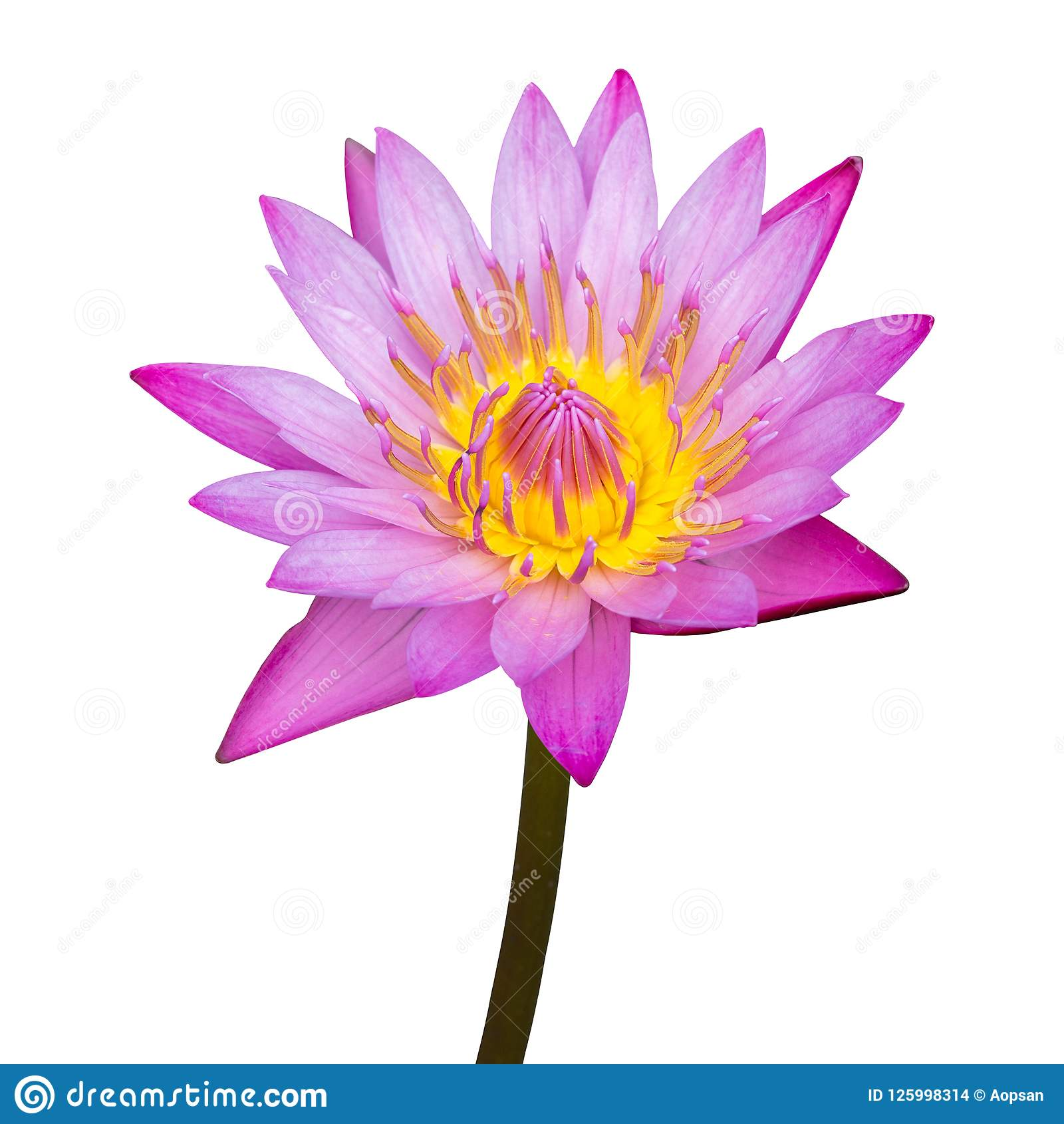 Purple Lotus Flower Isolated On White Stock Photo Image Of Beauty