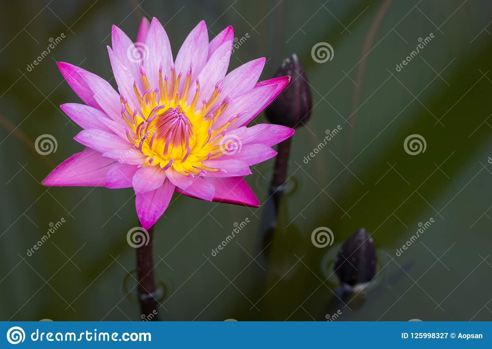 Purple Lotus Flower Stock Image Image Of Blossom Beautiful 125998327