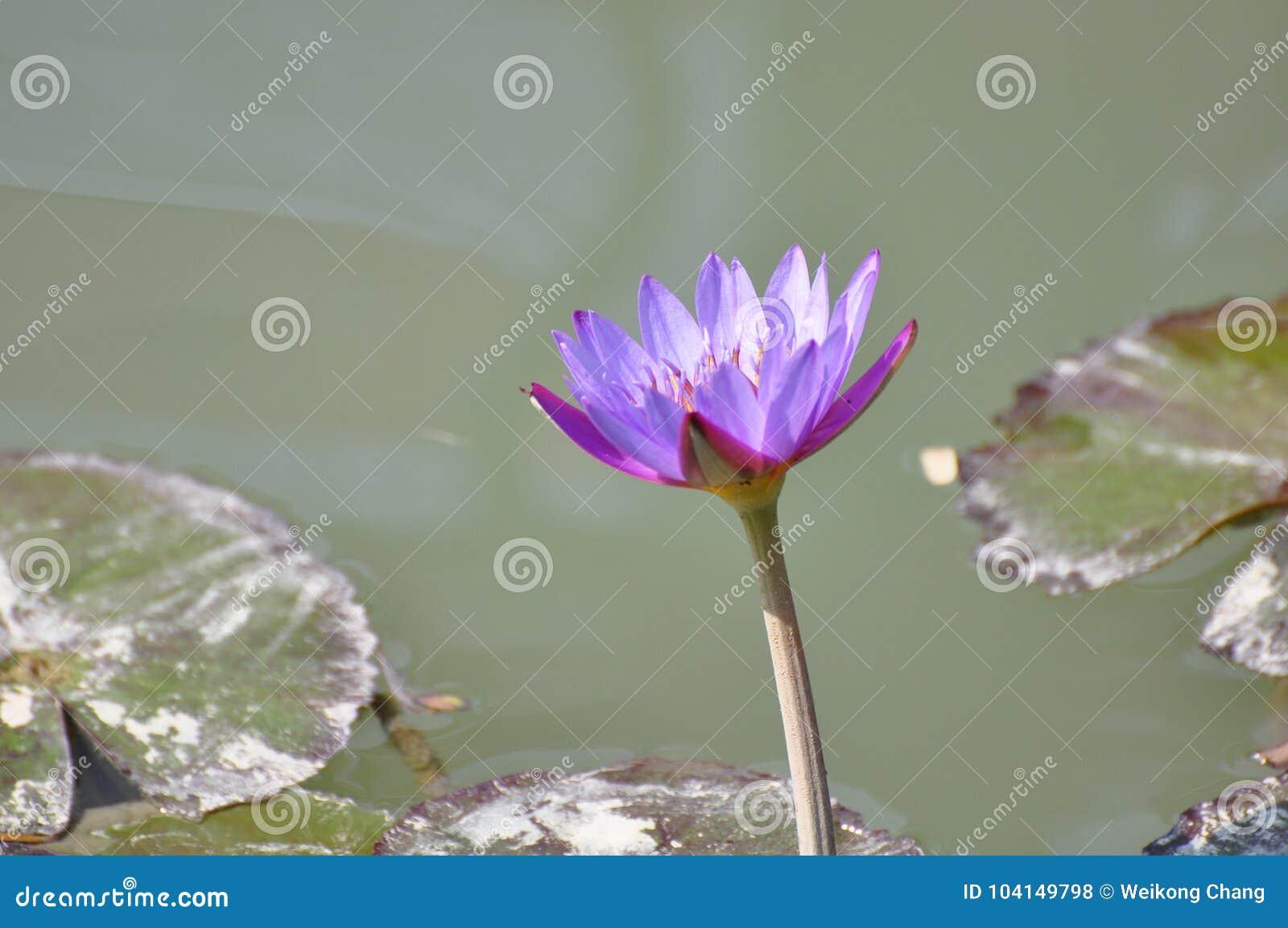 Lotus Flower At Summer Holiday In Hong Kong Stock Photo Image Of