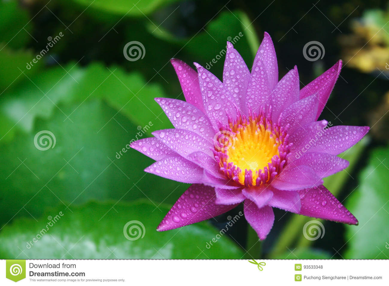 Purple lotus flower in thailand after raining stock photo image of download purple lotus flower in thailand after raining stock photo image of water reflextion mightylinksfo
