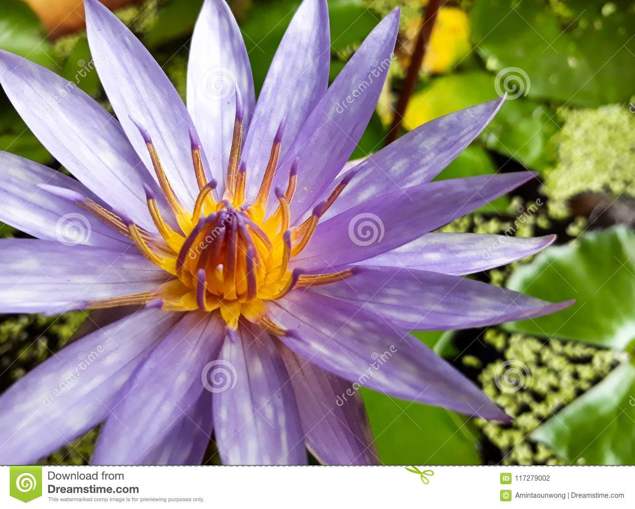 Purple Lotus Flower Or Water Lily With Green Leaves On The Water