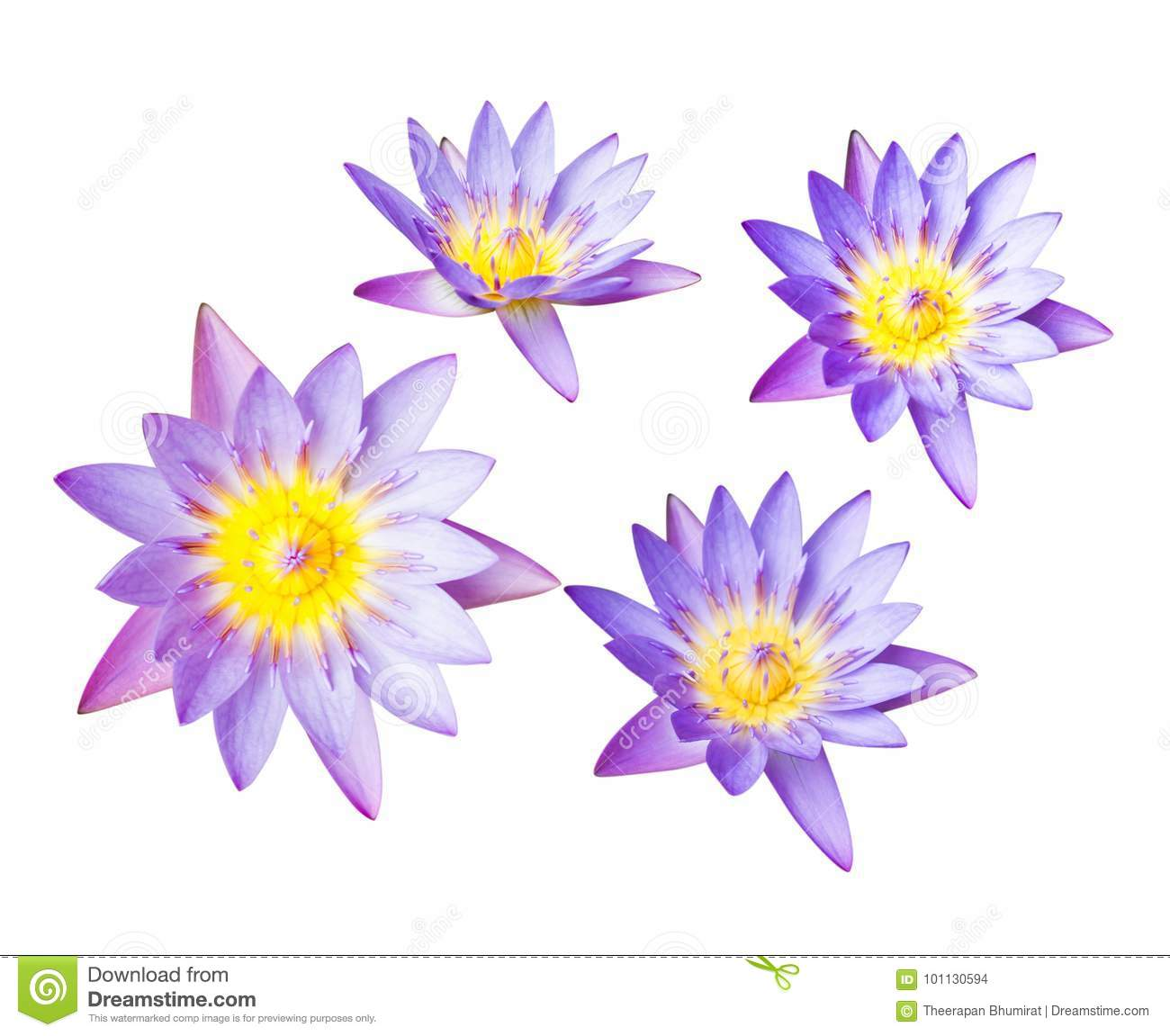 Purple Lotus Flower Or Water Lily Isolated On White Background Have