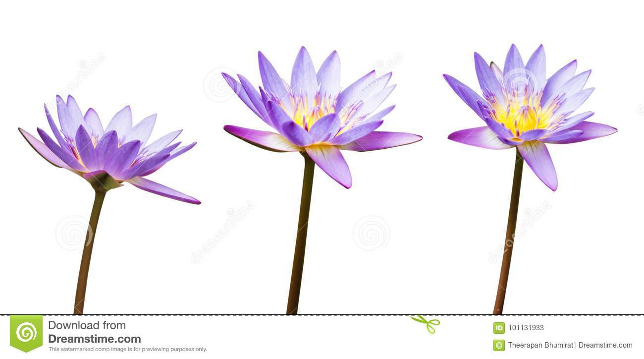 Purple lotus flower or water lily isolated on white background have download comp mightylinksfo