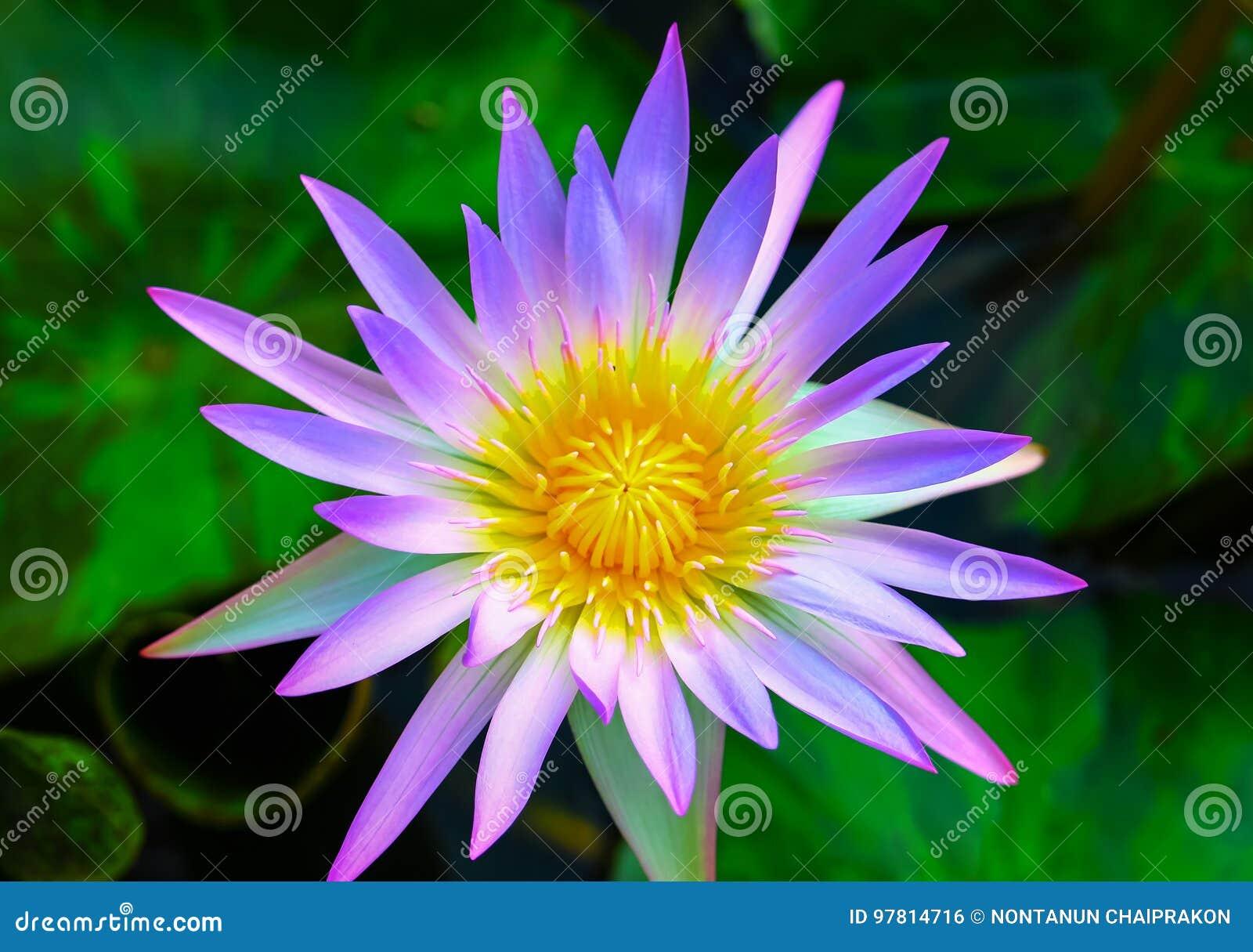 Purple Lotus Flowers Bloom Stock Photo Image Of Blooming 97814716