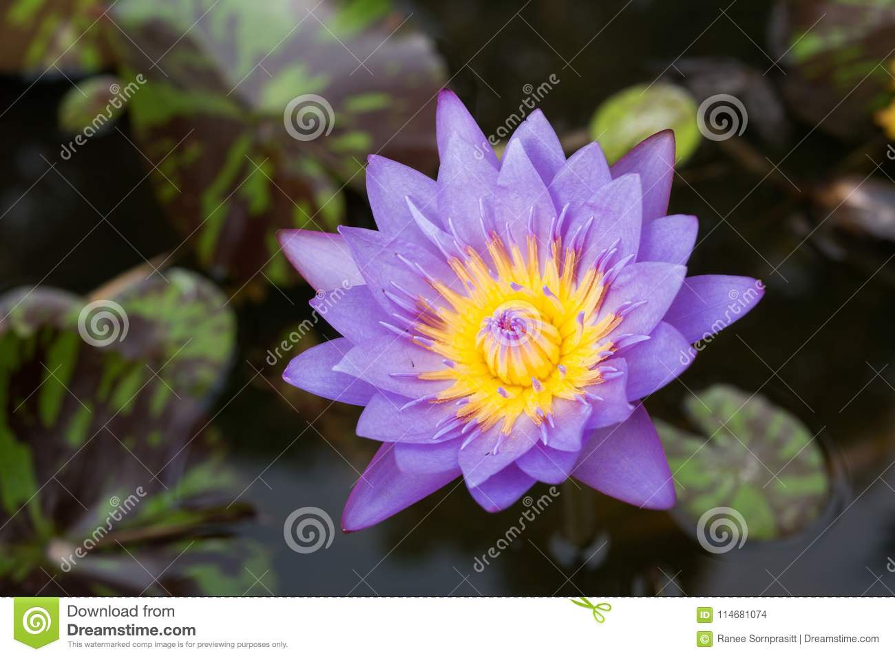 Purple lotus flowers in the canal stock photo image of closeup purple lotus flowers in the canal izmirmasajfo