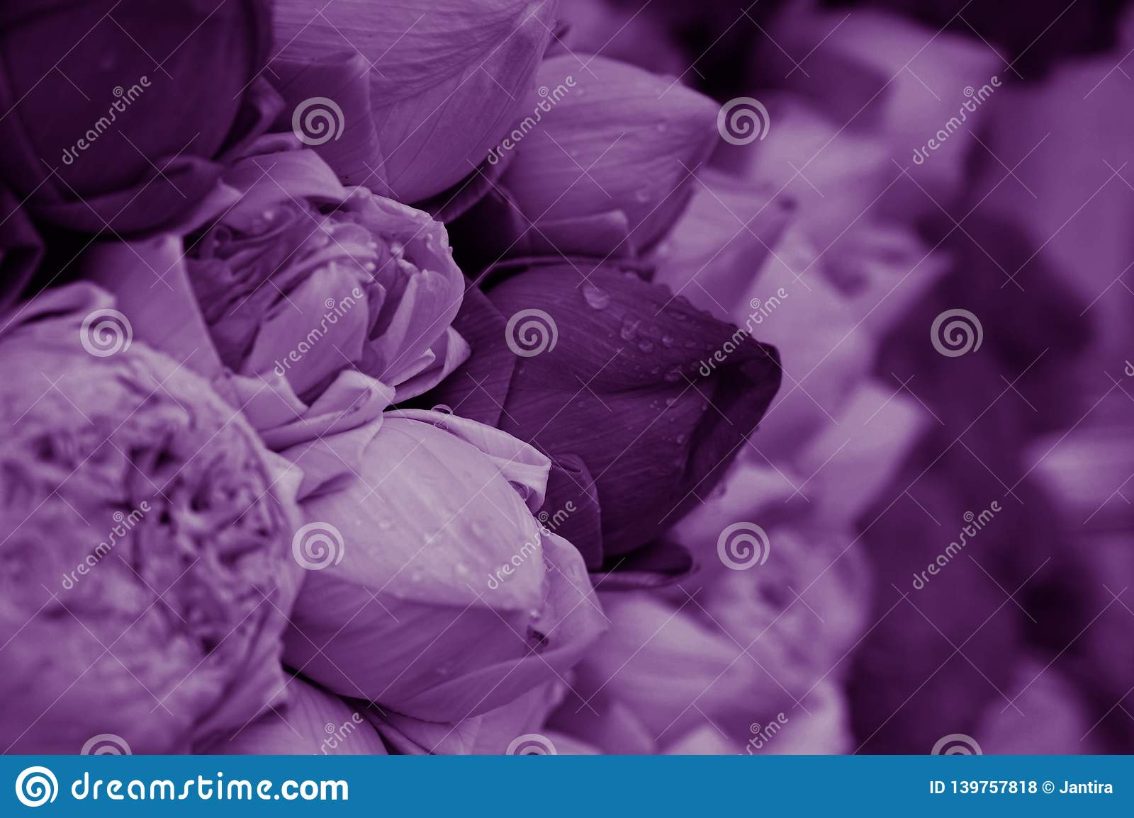 Purple lotus flowers for temple