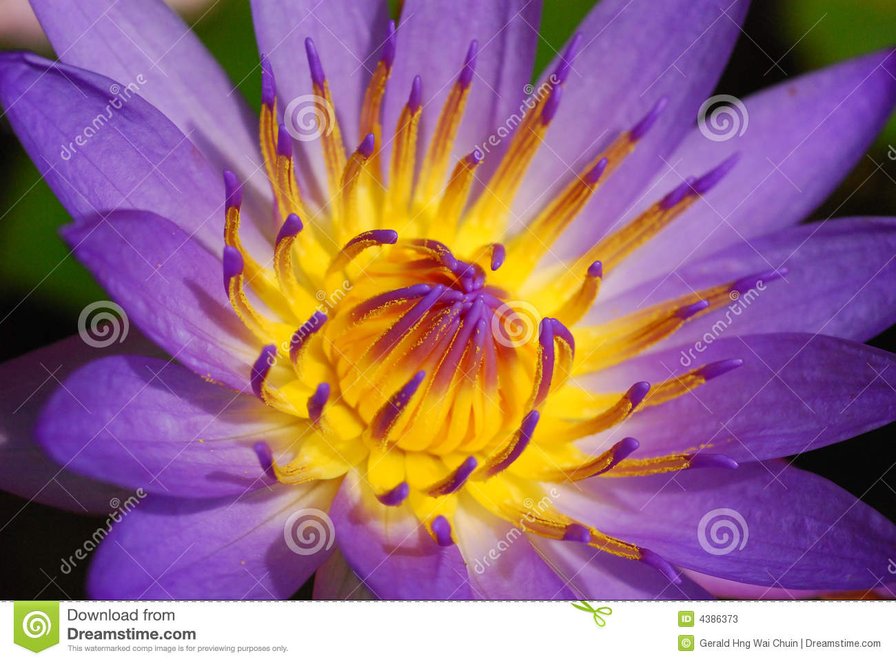 Purple lotus lily stock image image of lotus lake 4386373 a water lotus in full bloom one of the most beautiful flowers in existance this pink variant was taken in a middle of a pond somewhere in the rural izmirmasajfo
