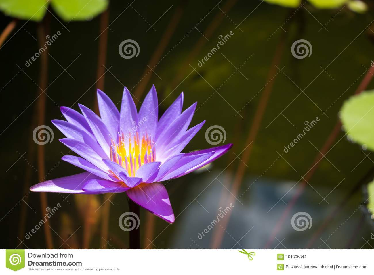 Purple lotus in pond at temple in Thailand . Symbol of peaceful