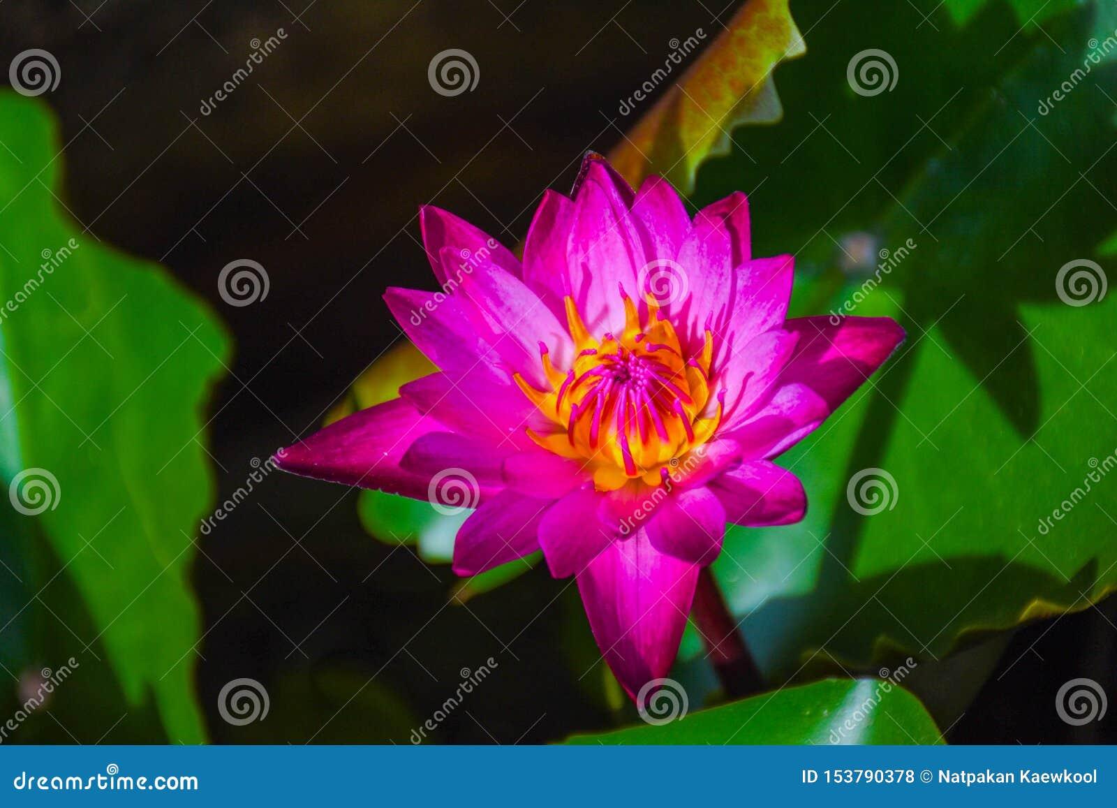 Purple lotus in the pool