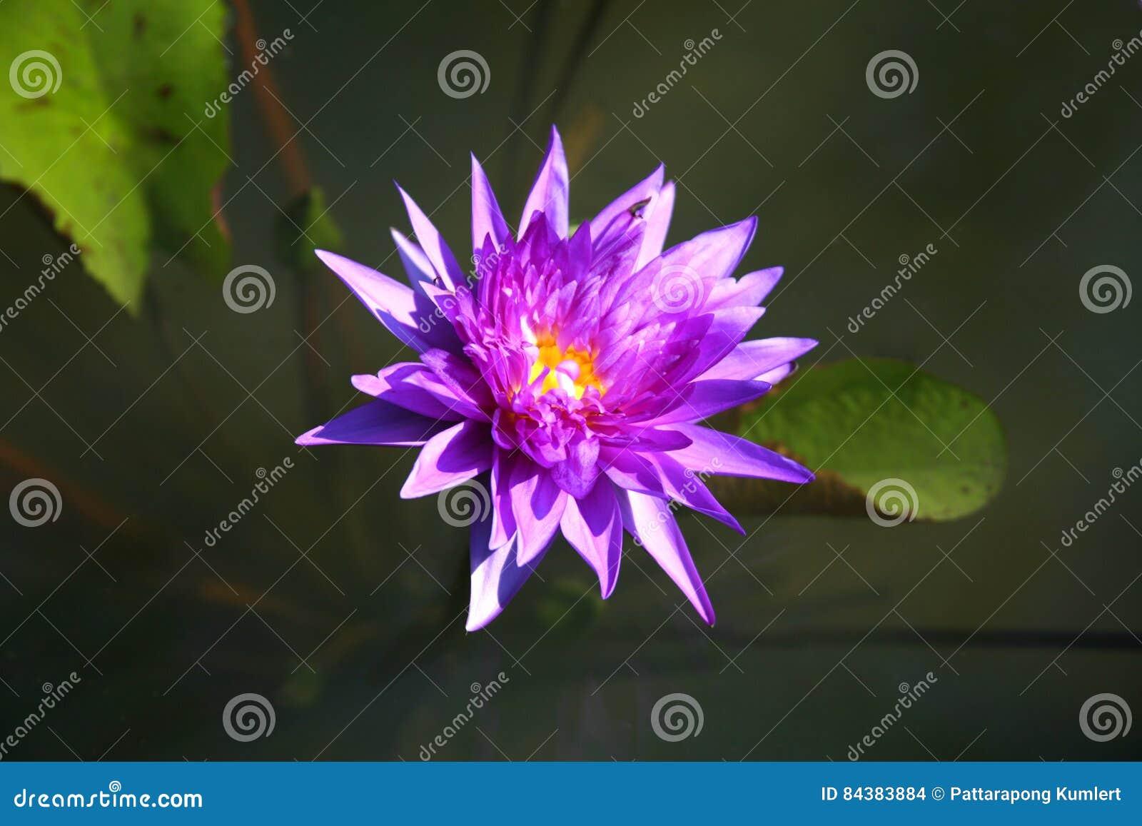 Purple lotus / purple water lily