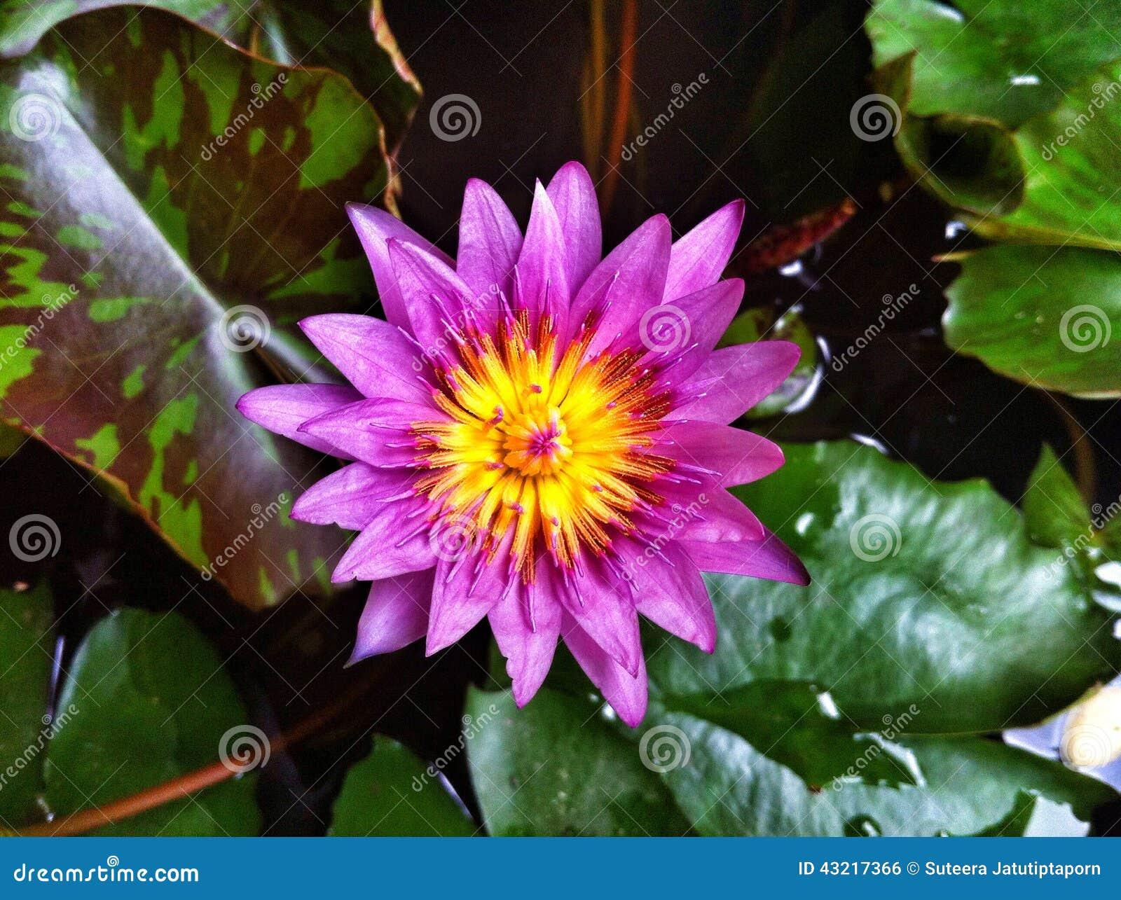 purple lily flower plant - photo #43