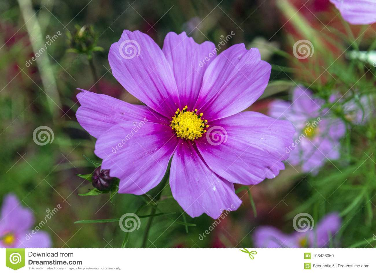 Purple And Magenta Cosmos Flower Stock Photo Image Of Colorful
