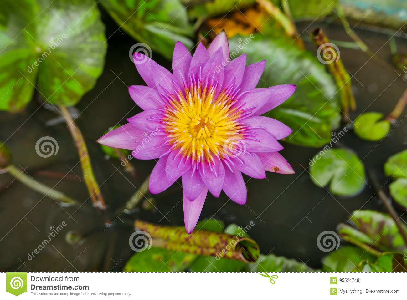Purple Magenta Lotus Flower Or Water Lilies In A Pond Stock Photo