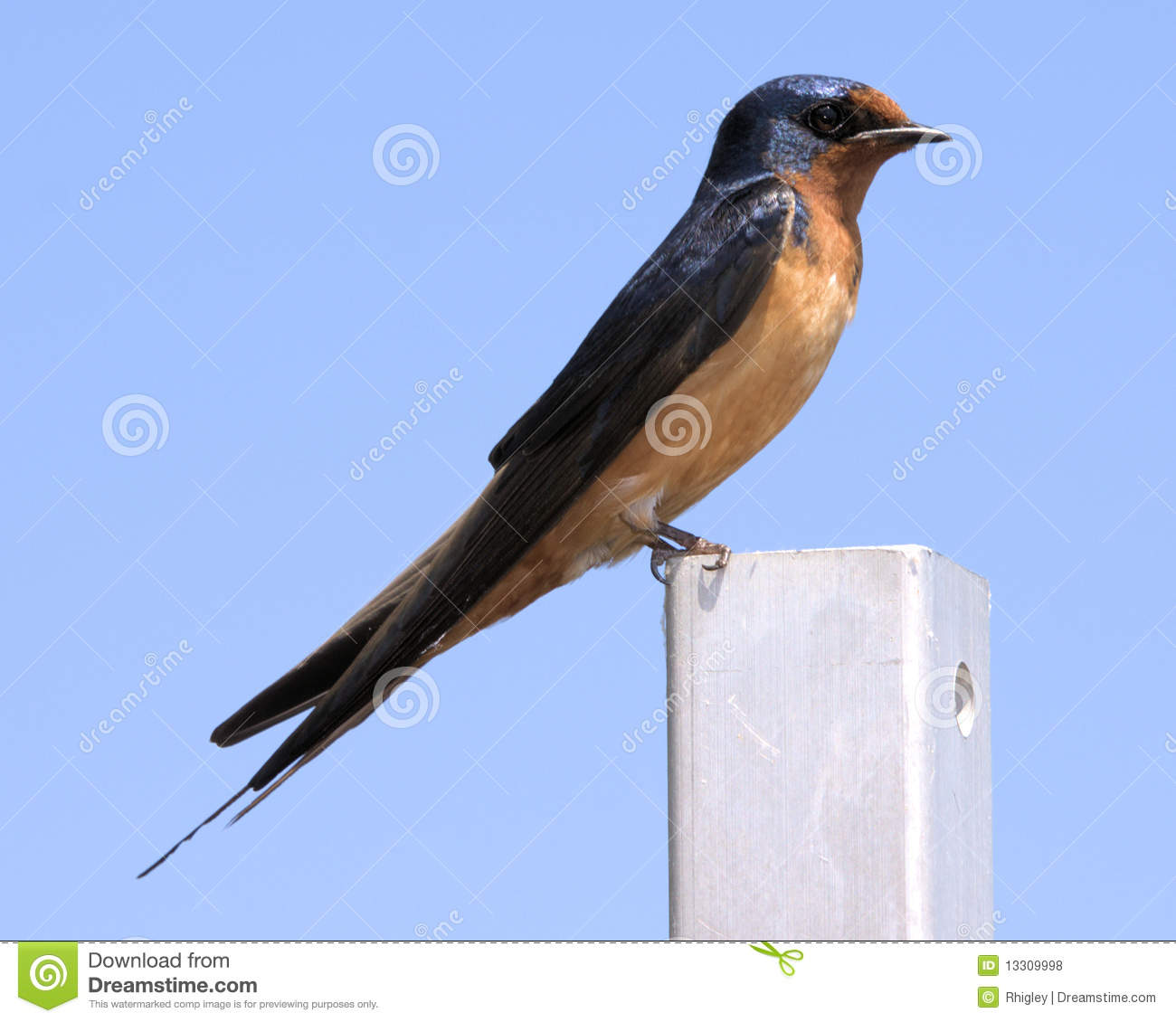 Purple martin royalty free stock photos image 13309998 for Martins fish house