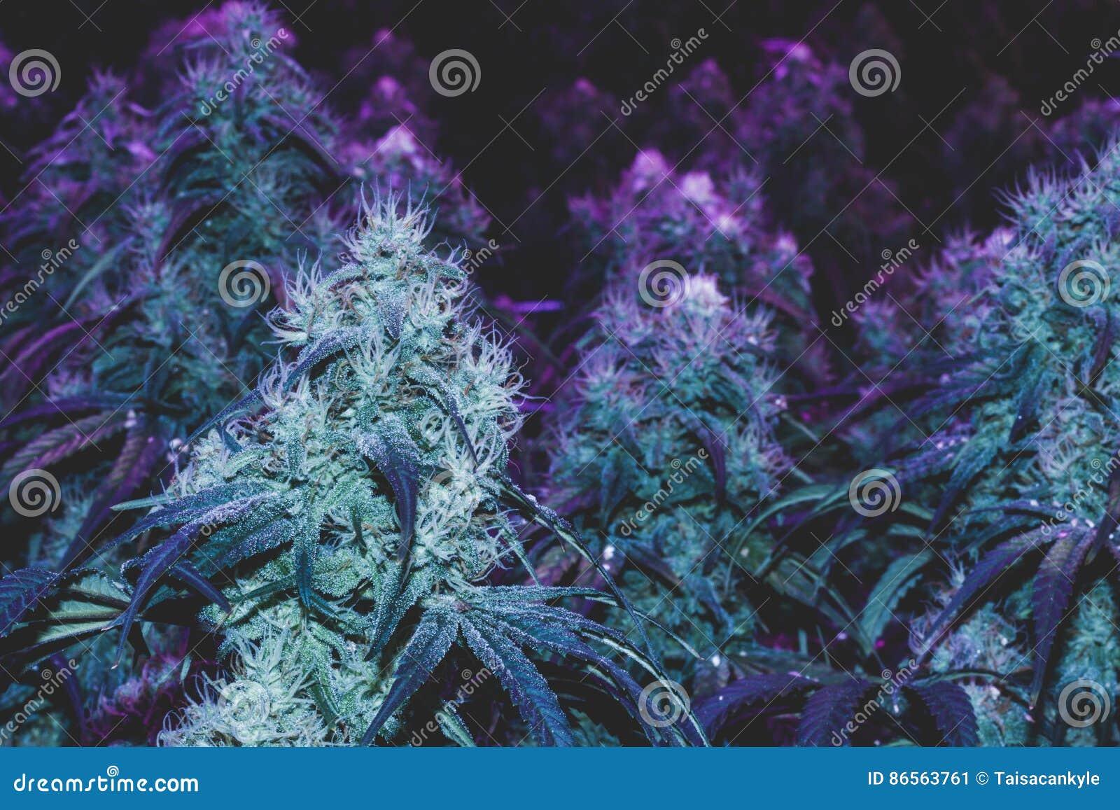 Happens. can purple marijuana nugs opinion