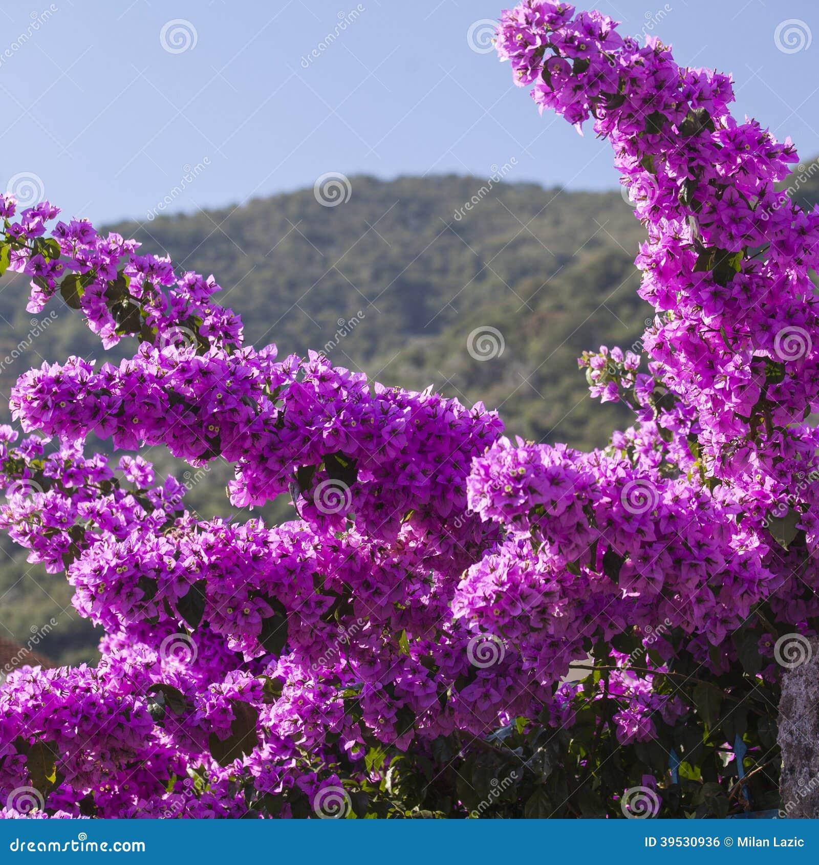 Purple Mediterranean Flower Stock Image