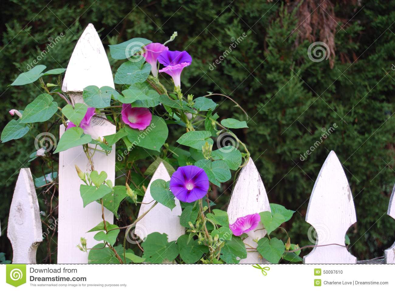 Purple Morning Glory Vine Stock Photo - Image: 50097610