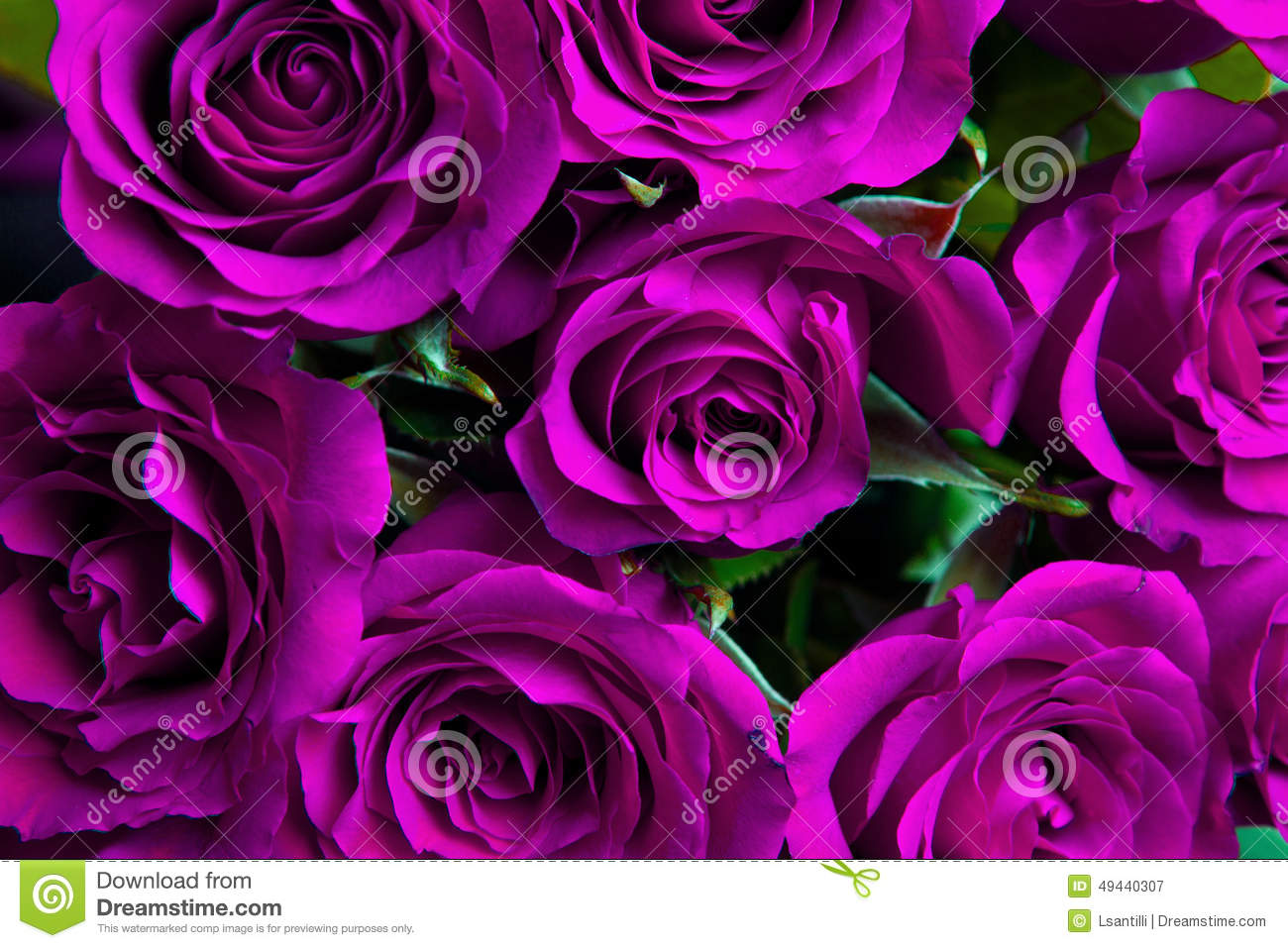Purple Roses Background Images: Purple Natural Roses Background Stock Photo