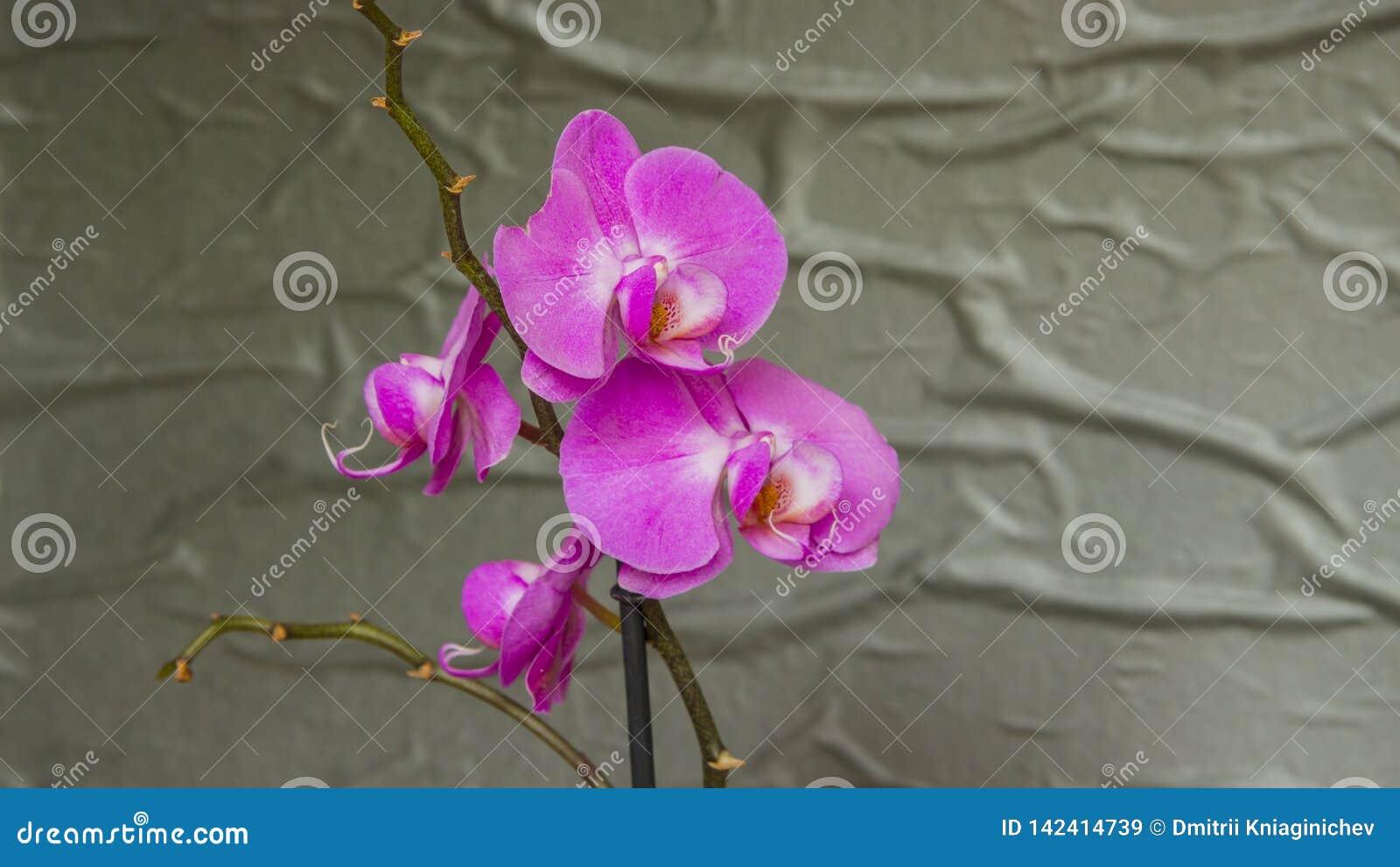 Purple orchid flower phalaenopsis. Close-up