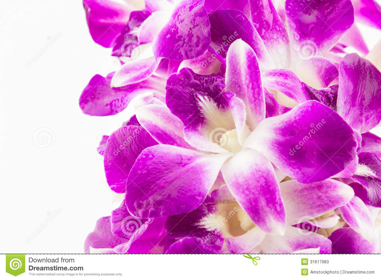 Purple Orchid Flowers On White Background Stock Image Image Of