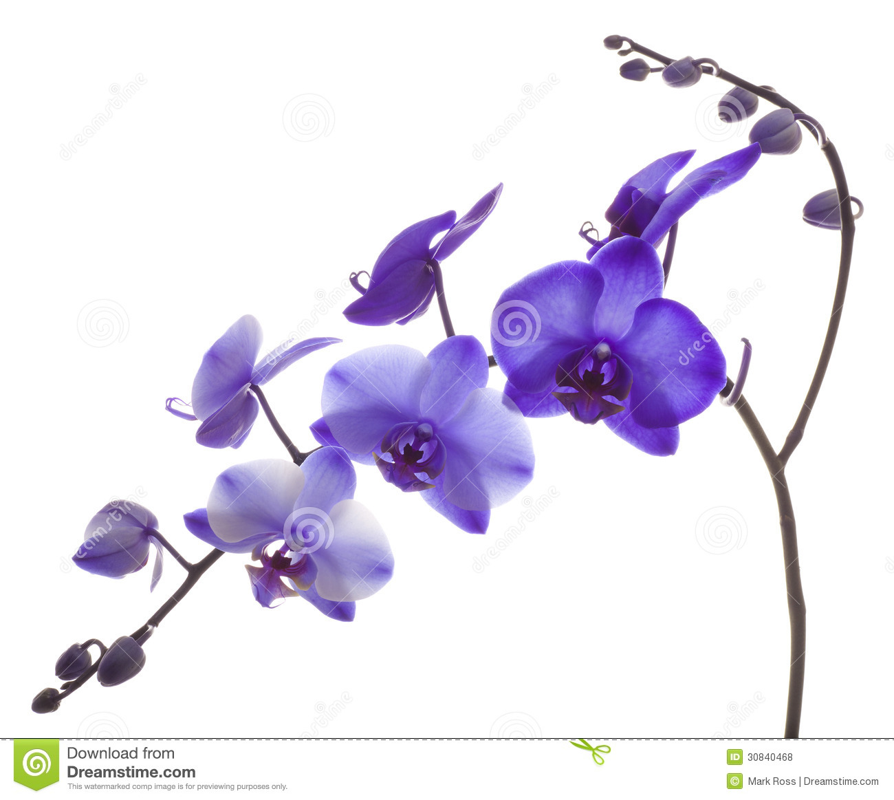 Purple Orchid Royalty Free Stock Photos - Image: 30840468