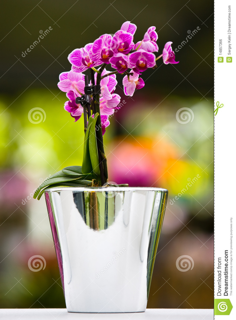 The purple orchid in vase
