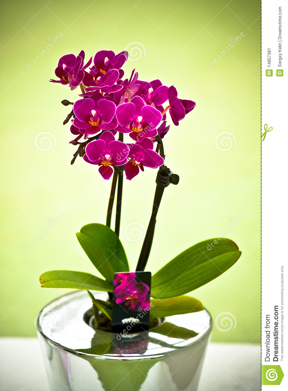 The Purple Orchid In Vase Stock Image Image Of Spring 14857381