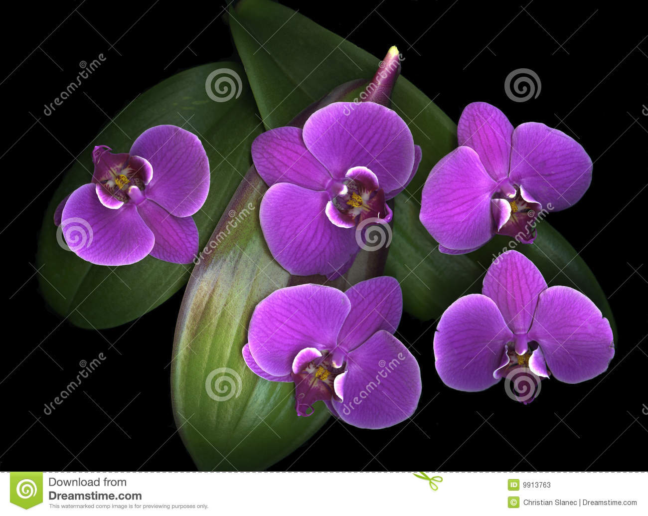 purple orchids dark background stock photos  image, Beautiful flower