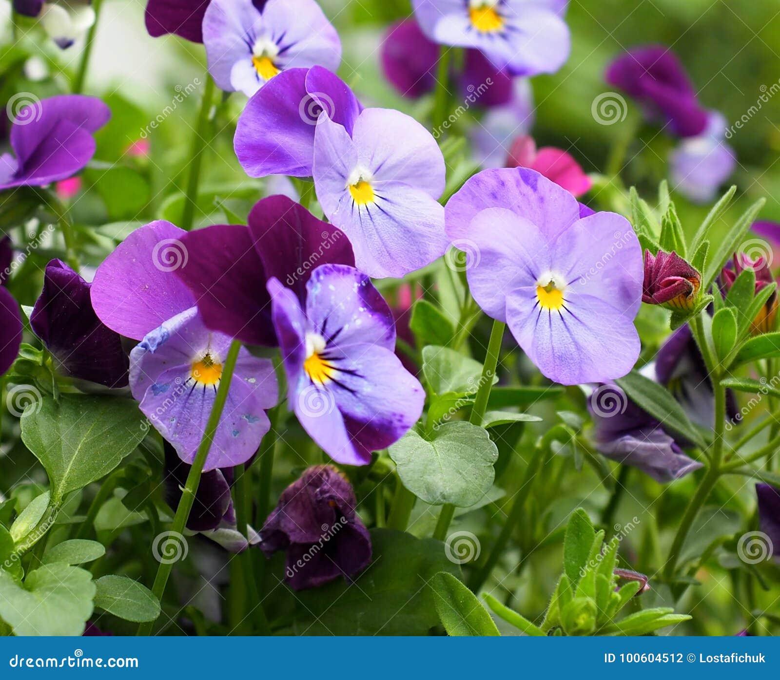 Purple Pansies Or Violas in Bloom