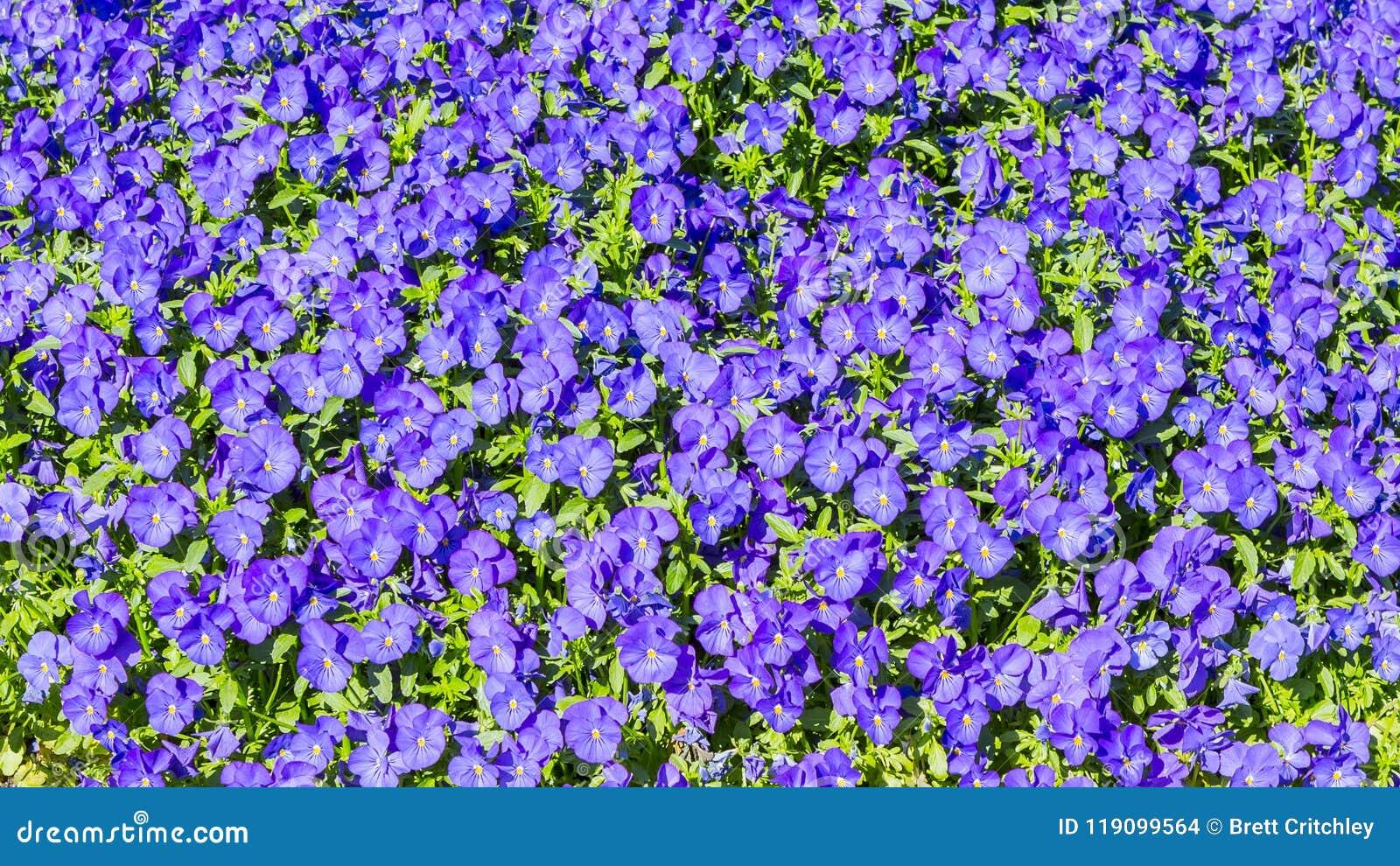 Purple pansies violas flowers background