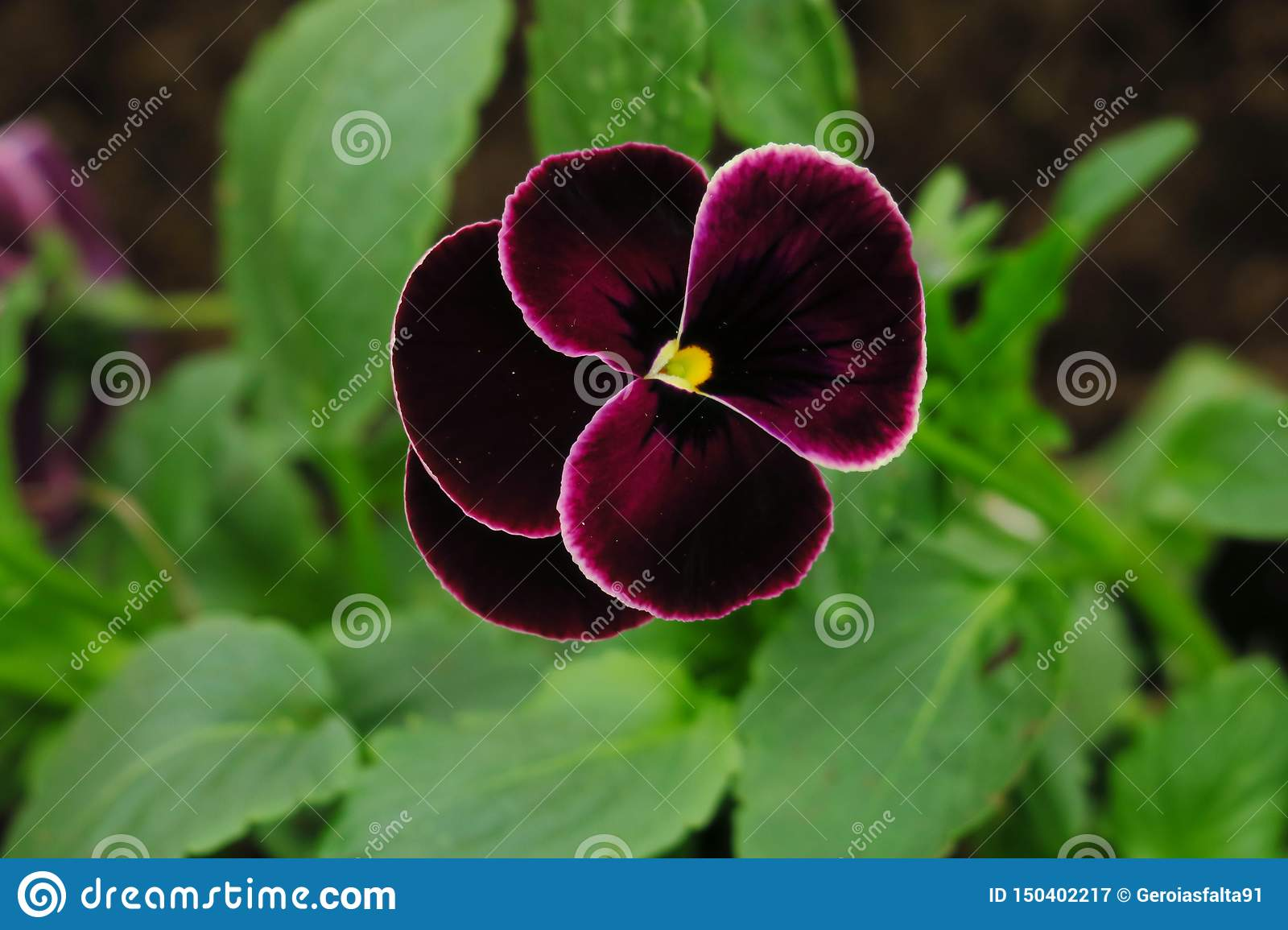 Purple pansy flower or heartsease as background or card. Close up one colorful pansy leaf with burgundy white yellow and violet