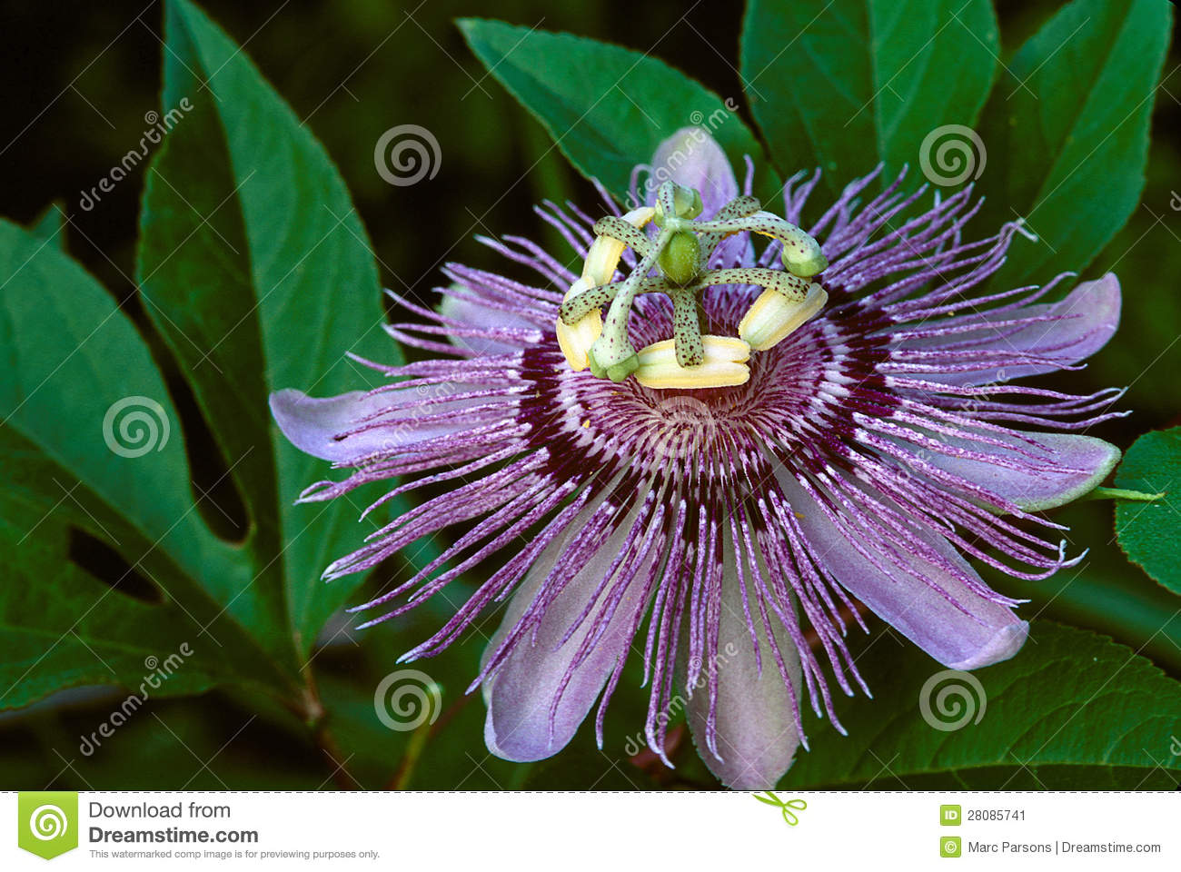 Purple Passion Flower Stock Image Image