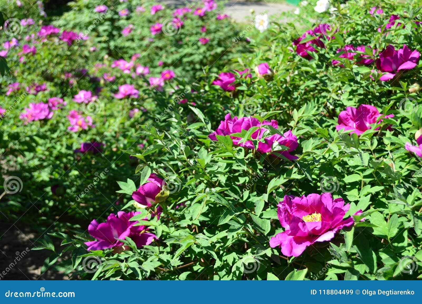 Purple Peonies Flowers Garden Spring Stock Image Image Of