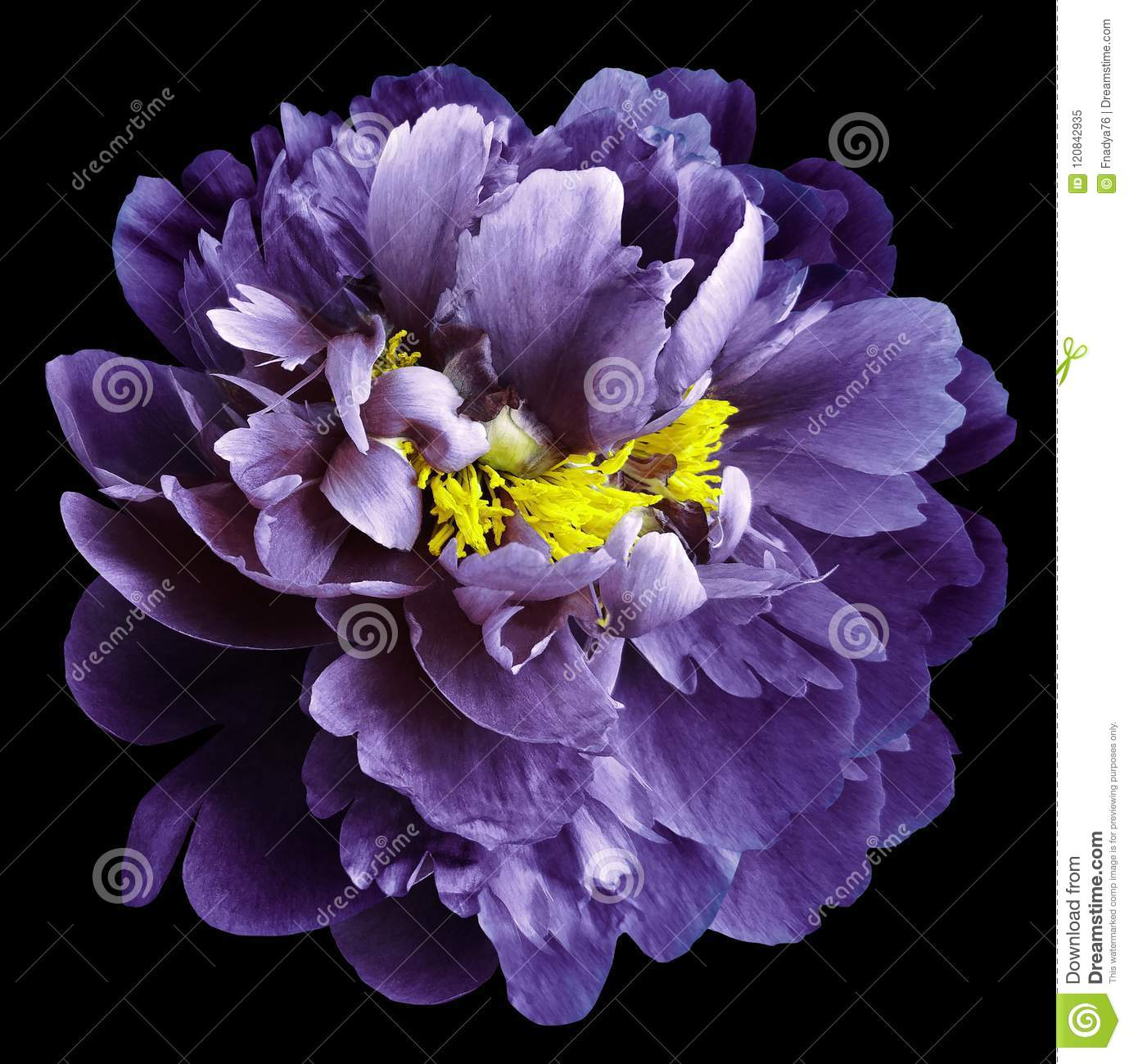 Purple Peony Flower With Yellow Stamens On An Isolated Black