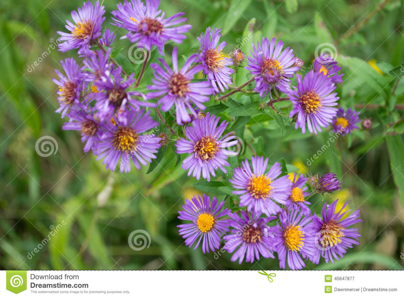 purple perennials new england aster flowers stock photo  image, Beautiful flower