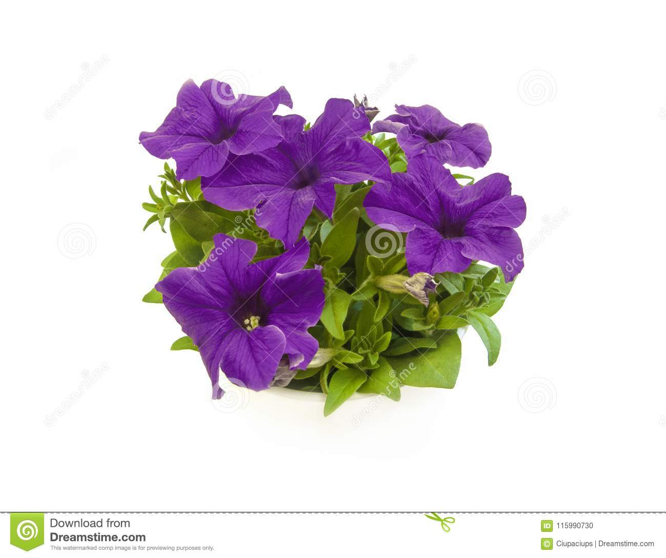 1d6af39888 Purple Petunia Blooming In Pot Closeup Top View Stock Photo - Image ...