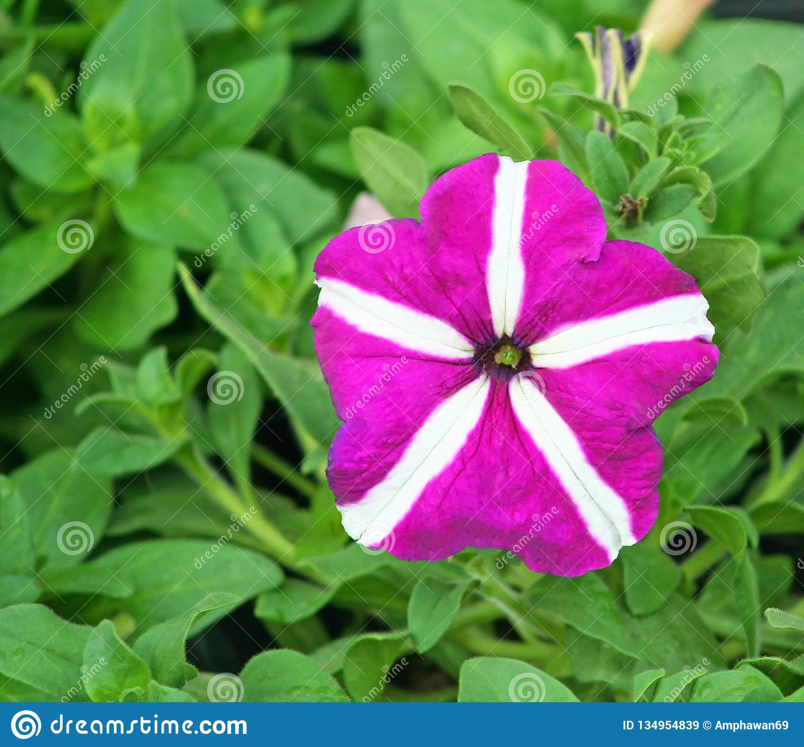 Purple petunia flower on green leaves background