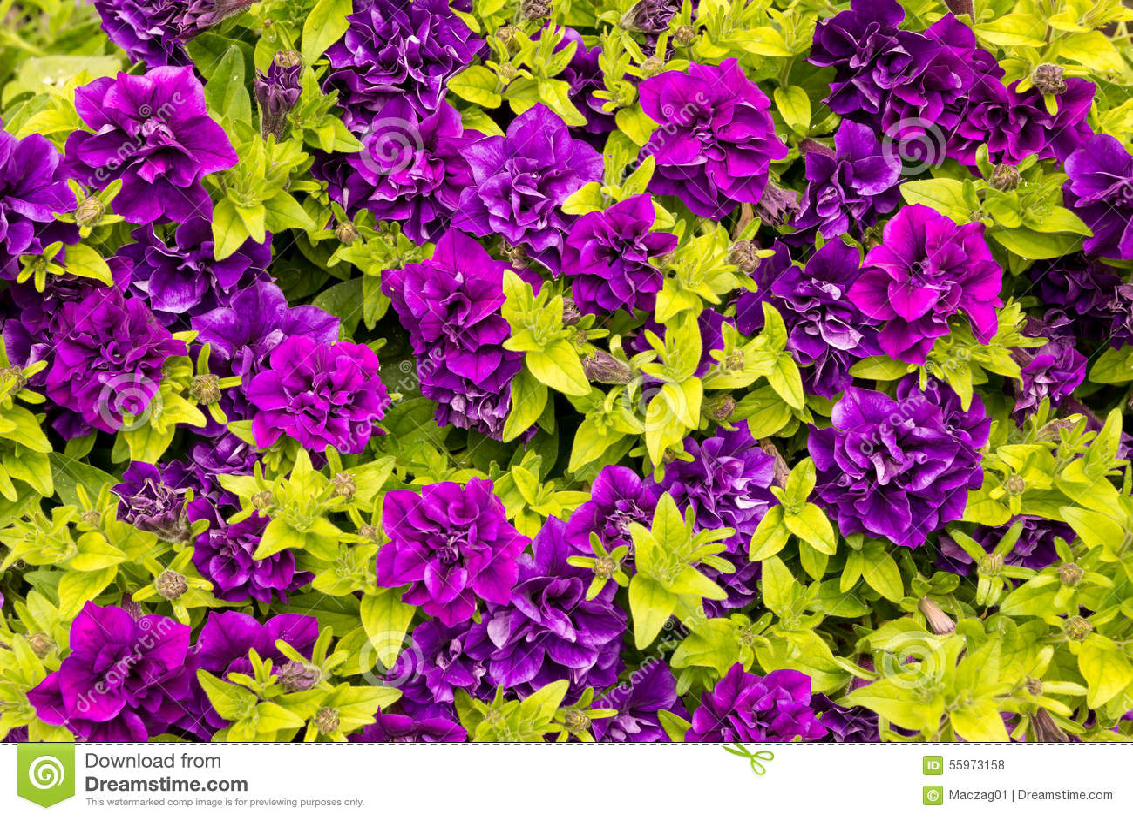 Purple petunia surfinia stock photo image 55973158 for Petunia surfinia