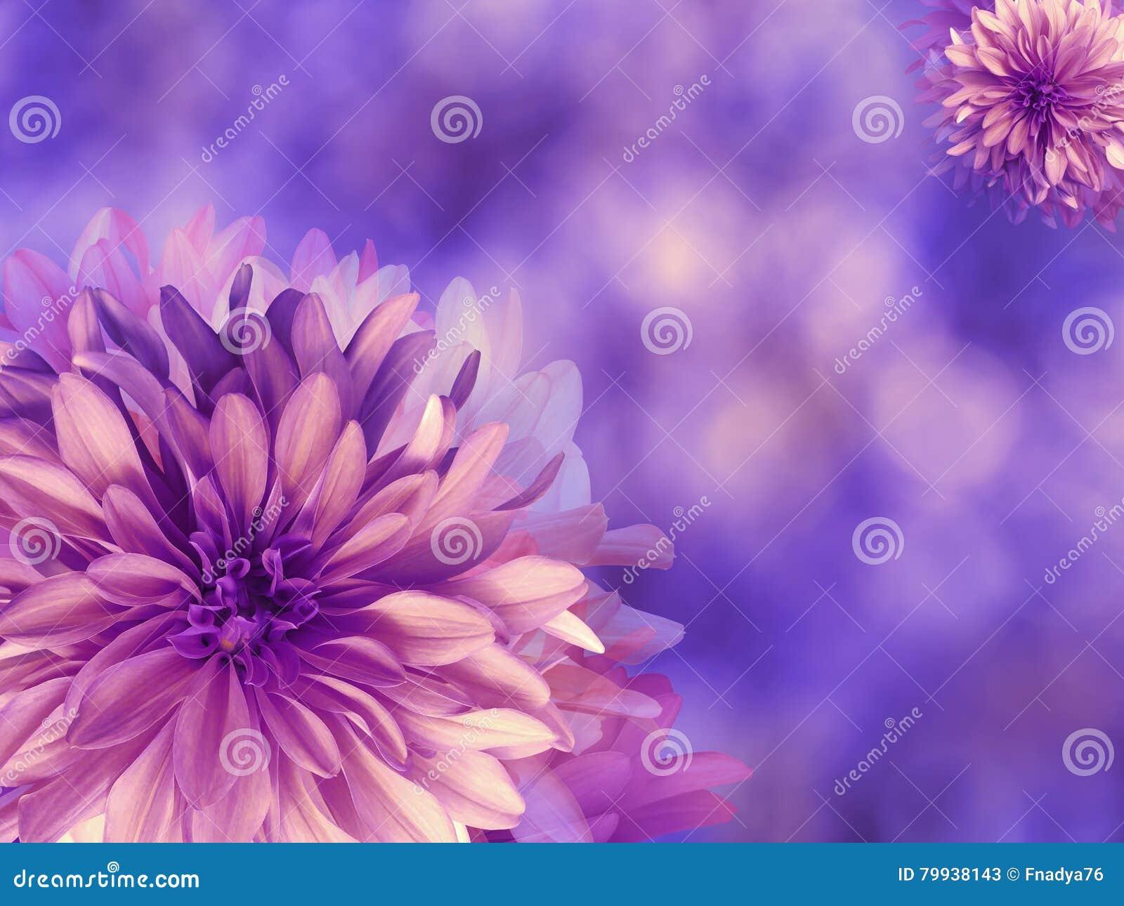 Purple Pink Autumn Flowers On Blue Violet Blurred Background